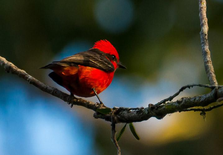 Pássaro vermelho e preto Príncipe
